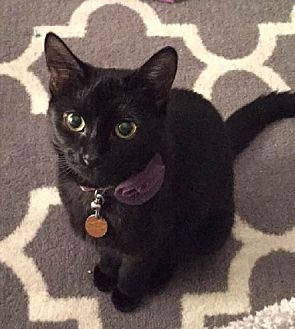 Domestic Shorthair Cat for adoption in Fishers, Indiana - Jolee (special needs)