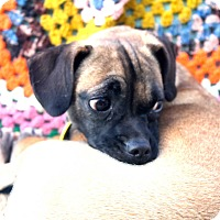 Adopt A Pet :: Angi - Phoenix, AZ