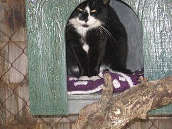 Domestic Mediumhair Cat for adoption in Coos Bay, Oregon - Bob