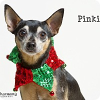 Miniature Pinscher/Chihuahua Mix Dog for adoption in Phoenix, Arizona - Pinkie Pie