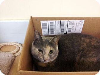Domestic Shorthair Cat for adoption in Maryville, Tennessee - Daisy