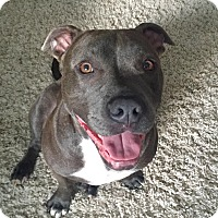 Adopt A Pet :: Louie - Detroit, MI