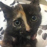 Adopt A Pet :: Samantha - St. Louis, MO