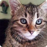 Adopt A Pet :: Tempest - Loveland, CO