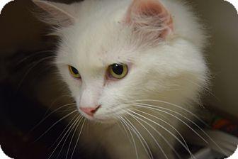 Domestic Longhair Cat for adoption in Pottsville, Pennsylvania - Bo Peep