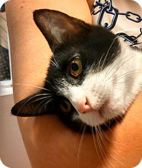 Domestic Shorthair Kitten for adoption in Scottsdale, Arizona - Lusion