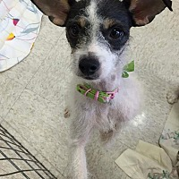 Jack Russell Terrier/Italian Greyhound Mix Dog for adoption in Phoenix, Arizona - Sassy