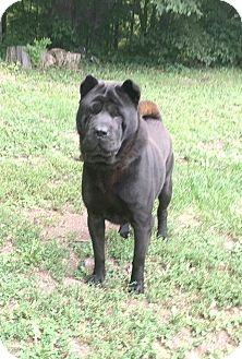 Shar Pei Mix Dog for adoption in Marion, Indiana - jarvis