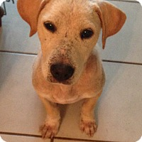 Golden Retriever/Labrador Retriever Mix Puppy for adoption in PARSIPPANY, New Jersey - LUCY