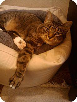 Domestic Shorthair Cat for adoption in Shoreline, Washington - Dot