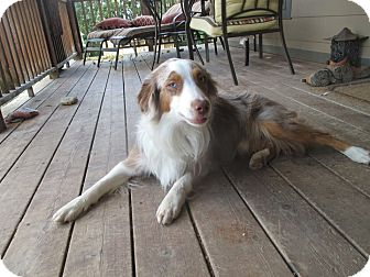 Australian Shepherd Dog for adoption in Elk River, Minnesota - Hazard