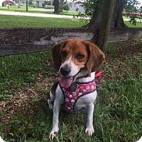 Adopt A Pet :: Dharma - Davie, FL