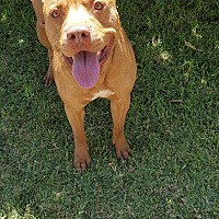 Pit Bull Terrier Mix Dog for adoption in Monrovia, California - Rocky