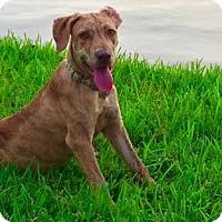 Adopt A Pet :: Electra - Houston, TX