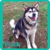 Alaskan Malamute Dog for adoption in Jasper, Indiana - Huck
