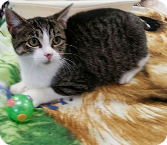 Domestic Shorthair Cat for adoption in Staten Island, New York - April