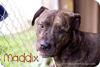 Pit Bull Terrier/Mastiff Mix Dog for adoption in Kendallville, Indiana - Maddix