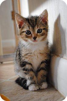 Domestic Shorthair Kitten for adoption in Rustburg, Virginia - Luna - Adoption Pending