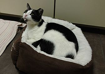 Domestic Shorthair Cat for adoption in Carlisle, Pennsylvania - Jack