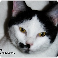 Domestic Shorthair Cat for adoption in McKinney, Texas - Cream