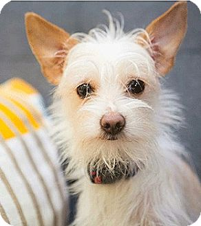 Terrier (Unknown Type, Small) Mix Dog for adoption in Oakland, California - Russell