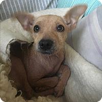 Adopt A Pet :: Cindy Lou Who - Davis, CA