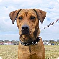 Adopt A Pet :: Noel - St. Francisville, LA