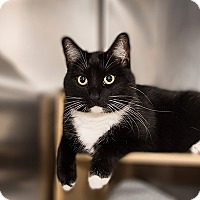 Adopt A Pet :: Mittens - San Juan Capistrano, CA