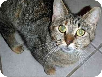 Domestic Shorthair Cat for adoption in Hamilton, Ontario - Sarah