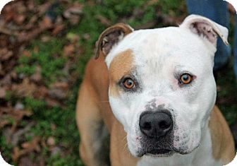 American Bulldog Mix Dog for adoption in Tinton Falls, New Jersey - Rocky Boy