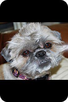 Shih Tzu/Lhasa Apso Mix Dog for adoption in Brea, California - Frankie