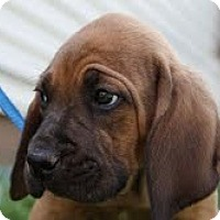 Adopt A Pet :: Dibble - Staunton, VA