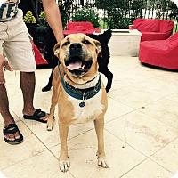 Adopt A Pet :: CJ - Santa Monica, CA