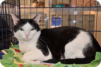 Domestic Shorthair Cat for adoption in Houston, Texas - Mackenzie