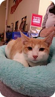 Manx Cat for adoption in Houston, Texas - Tucker