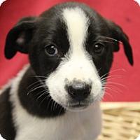 Adopt A Pet :: Roscoe - Waldorf, MD