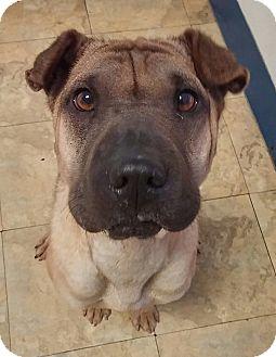 Shar Pei Dog for adoption in Mira Loma, California - Naya in TX - pending