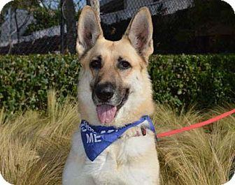 German Shepherd Dog Dog for adoption in Downey, California - Jenny