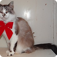 Domestic Longhair Cat for adoption in Lawrenceville, Illinois - Baby Doll