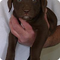 Adopt A Pet :: MERIDITH - Corona, CA
