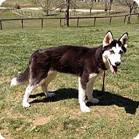 Adopt A Pet :: FELICIA - WOODSFIELD, OH