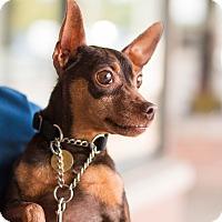 Adopt A Pet :: Coco - Syracuse, NY