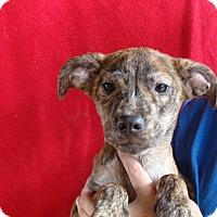 Adopt A Pet :: Aria - Oviedo, FL