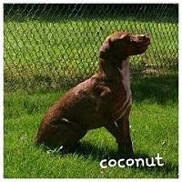 Adopt A Pet :: coconut - Gadsden, AL
