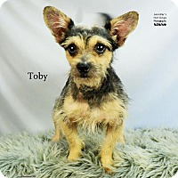 Standard Schnauzer Dog for adoption in Spring, Texas - Toby