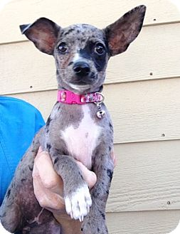 Chihuahua Puppy for adoption in Temecula, California - Bree