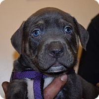 Labrador Retriever/Pit Bull Terrier Mix Puppy for adoption in Seattle, Washington - T-Bone Ryan