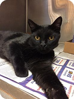 Domestic Shorthair Cat for adoption in East Brunswick, New Jersey - Deuce