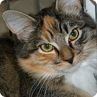 Maine Coon Kitten for adoption in Stafford, Virginia - Topaz