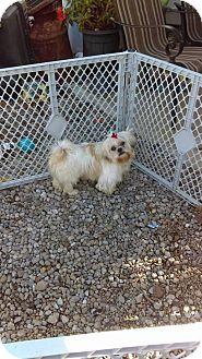 Shih Tzu Dog for adoption in WOODSFIELD, Ohio - BLONDY